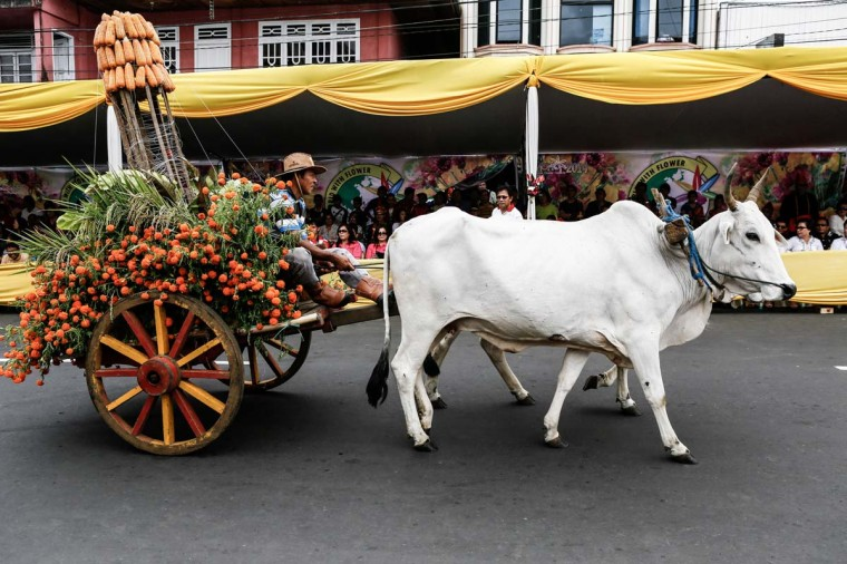 A float pulled by cows during Tomohon International Flower Festival on August 8 in Tomohon, North Sulawesi, Indonesia. The flower festival is a biannual event that has run since 2008. It was originally devised to boost tourism in the North Sulawesi region.  (Photo by Putu Sayoga/Getty Images)